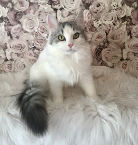 Karamelka Sibirische Katze