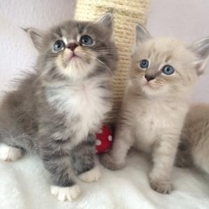 Aktuelles Neva und Sibirische Katzenbabys
