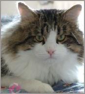 Eurochamp. El Esse Chaija´s Kolja Sibirische Katze